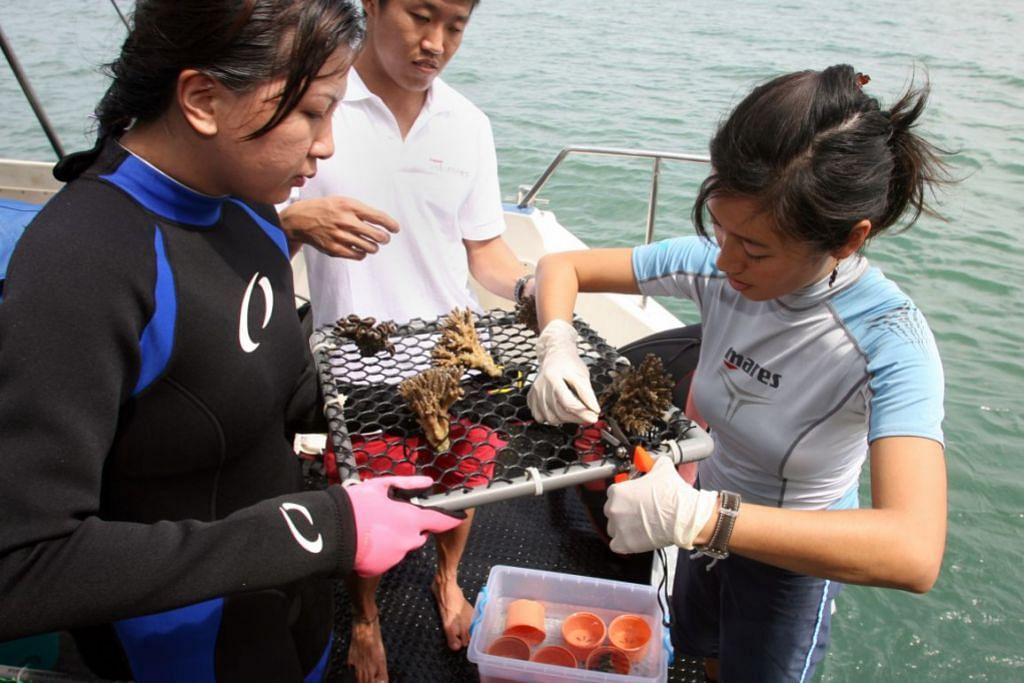SEMAI KARANG: Kakitangan dari Makmal Biologi Laut NUS menyiapkan serpihan karang untuk disemai.