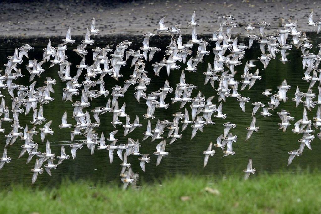 TARIKAN BURUNG: Sungei Buloh menjadi tempat persinggahan bagi beberapa jenis burung dari rantau ini seperti pasangan merpati hijau/kuning berleher merah jambu ini dan juga burung pantai dari kawasan Artik (gambar atas).