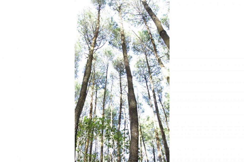 TINGGI BELAKA: Kawasan Hutan Pinus ini merupakan satu lagi tarikan pelancong di Yogyakarta. - Foto ihsan ROZANA KARIM