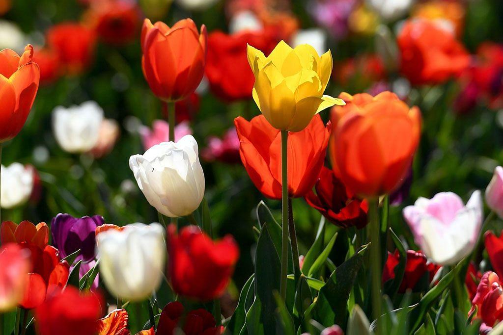 Sekuntum Bunga Tulip Di Tangan Mephistopheles
