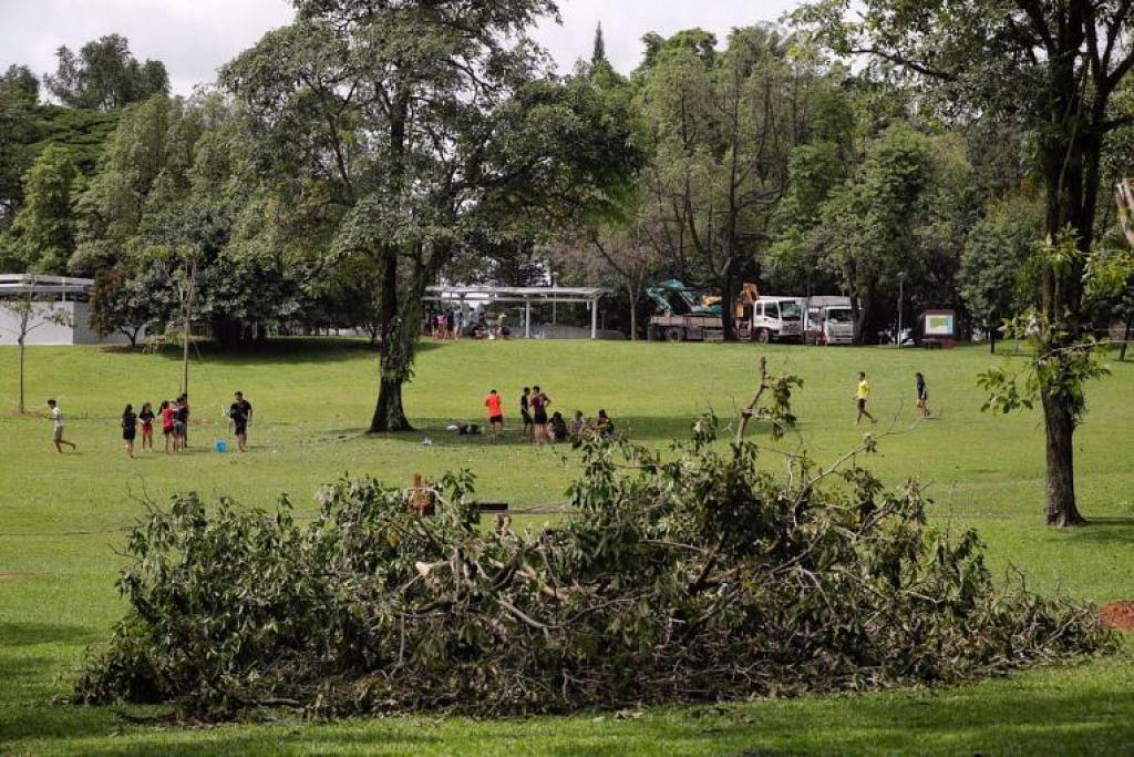 Pokok itu didapati tumbang akibat angin kencang, berdasarkan arah jatuh dan saiznya yang besar, kata NParks.