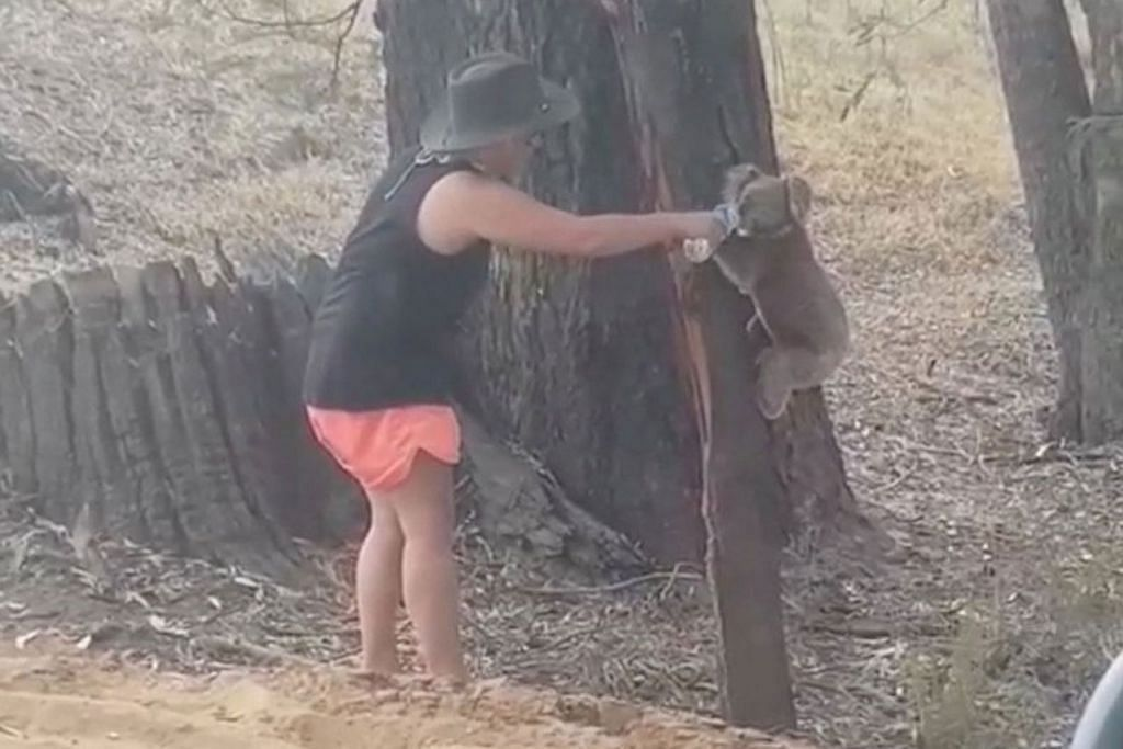 KEHAUSAN: Seorang penduduk ini memberikan seekor koala ini air sedang fenomena gelombang haba melanda wilayah, Ulupna di Victoria, Australia. - Foto REUTERS