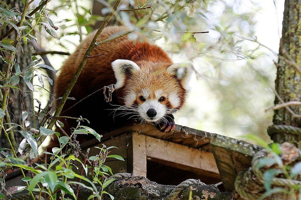 Panda merah betina diletak di River Safari bagi program pembiakan