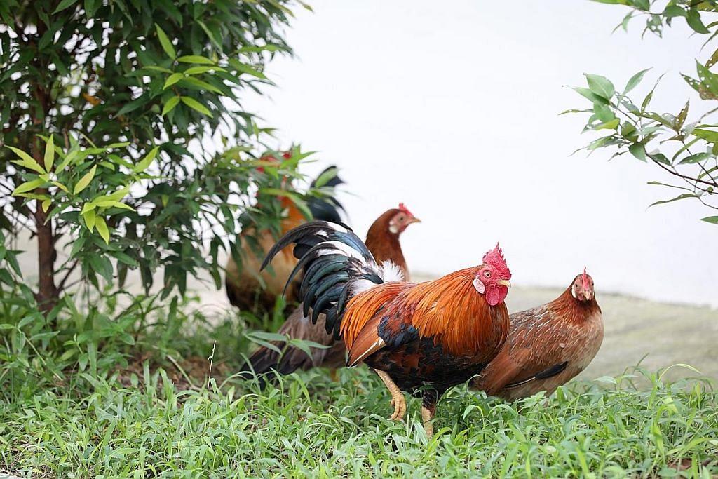 Masalah ayam liar di estet Tampines