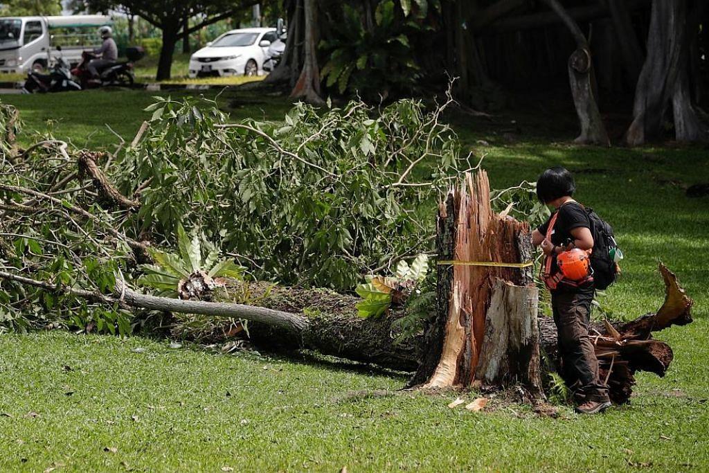 Pokok yang tumbang di Sembawang Park diperiksa sihat pada Mei 2017: NParks