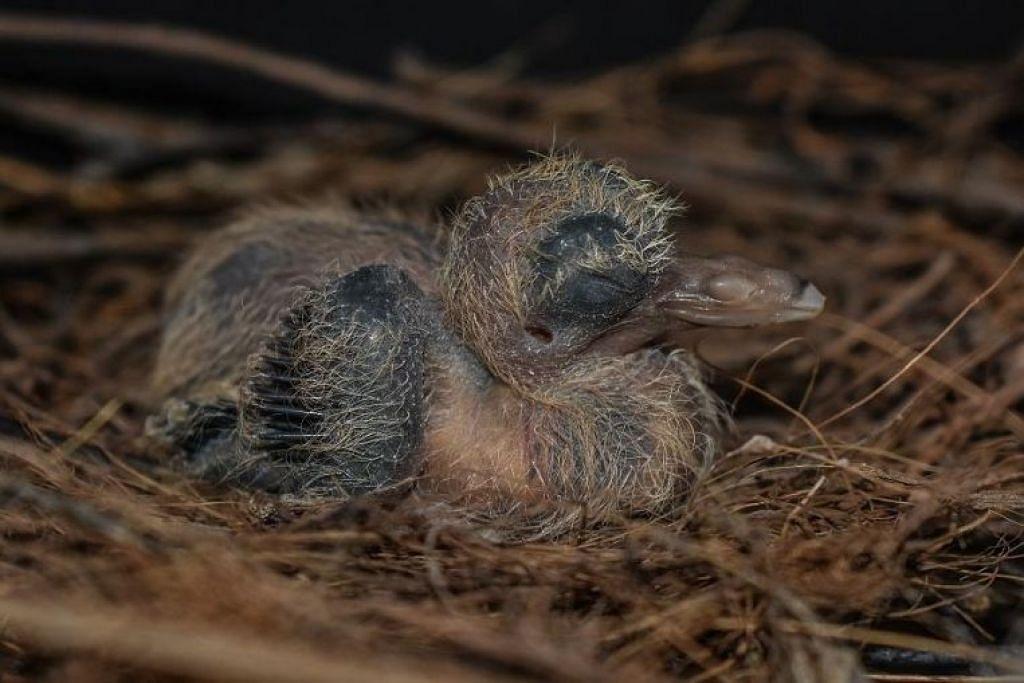 Anak merpati tanah Santa Cruz pertama yang menetas di Taman Burung Jurong pada 31 Disember 2018.
