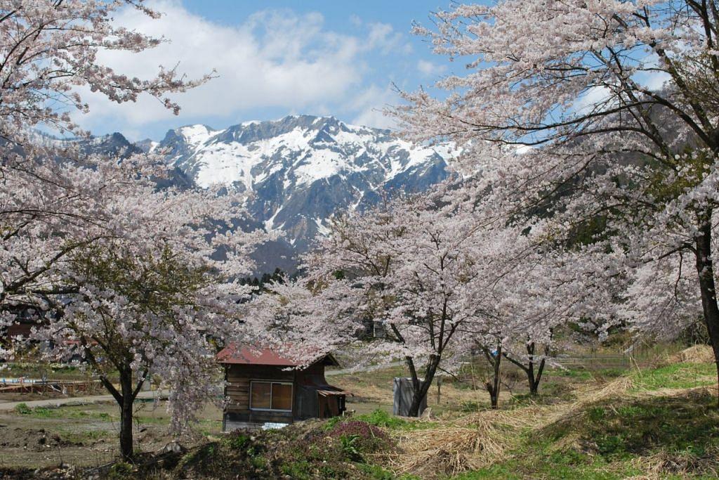 PEMANDANGAN INDAH: Pelancong akan dikelilingi pemandangan indah bunga sakura ini di serata Jepun, seperti yang dapat dilihat di kawasan berdekatan Gunung Tanigawa di Jepun. - Foto fail