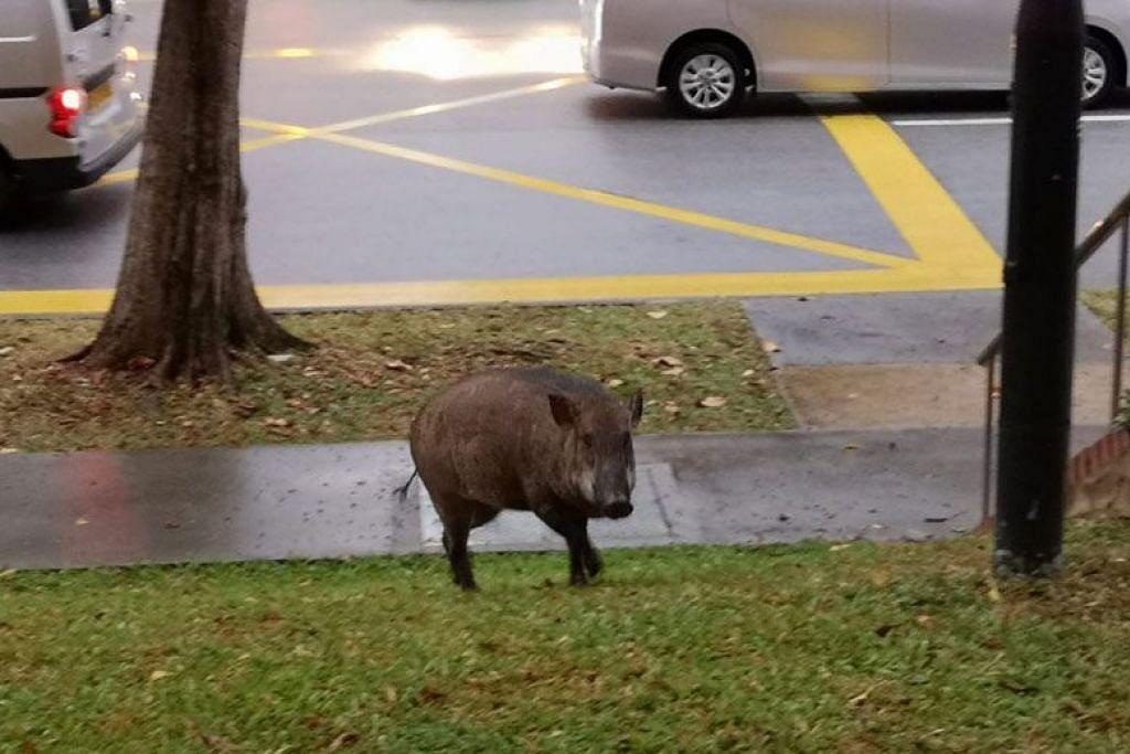 Babi hutan ini dilihat di Choa Chu Kang Street 52.