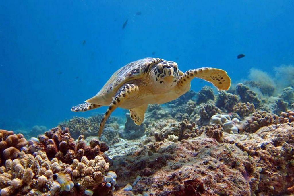 PENYU LAUT: Selain karang, ikan, manta ray, dan yu paus, pelancong juga dapat bersemuka dengan penyu laut melalui kegiatan bersnorkel. - Foto THODDOO RETREAT