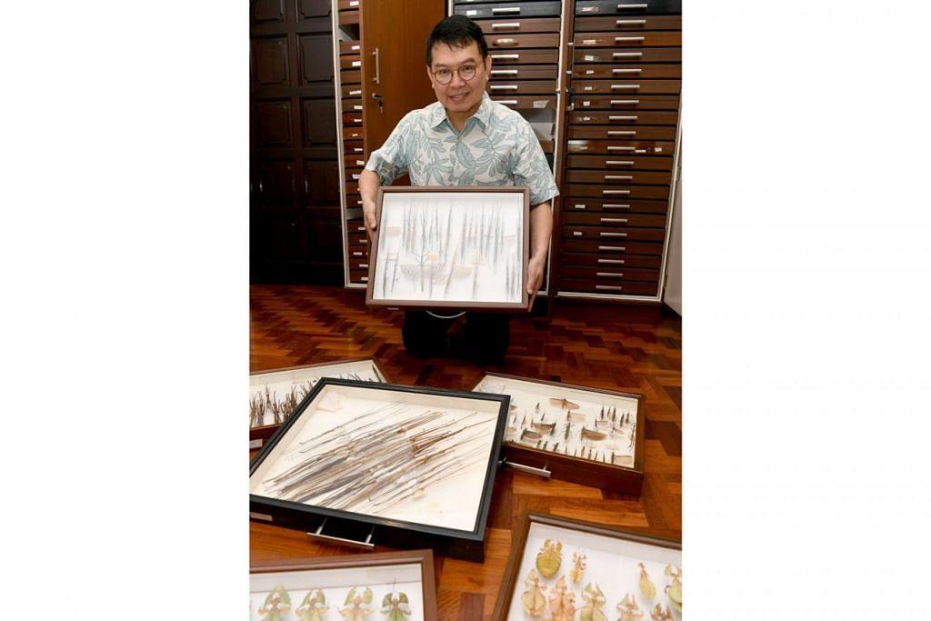 HASILKAN BUKU: Dr Francis Seow-Choen telah menghasilkan sehingga tujuh naskhah buku rujukan selain sekitar 50 kertas kajian mengenai serangga ranting dan daun. Gambar atas ialah serangga ranting dan daun yang sudah dikeringkan dan dikumpulnya untuk dijadikan kajian. - Foto BH oleh KHALID BABA