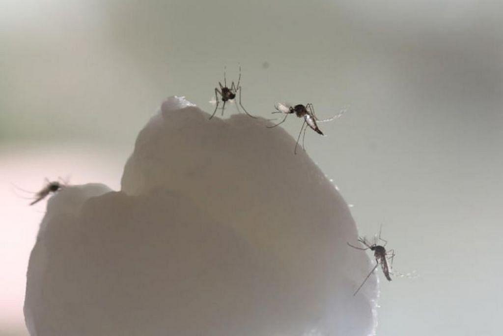 Nyamuk Aedes aegypti merupakan spesis yang bertanggungjawab merebak denggi dan Zika. FOTO: ST FILE