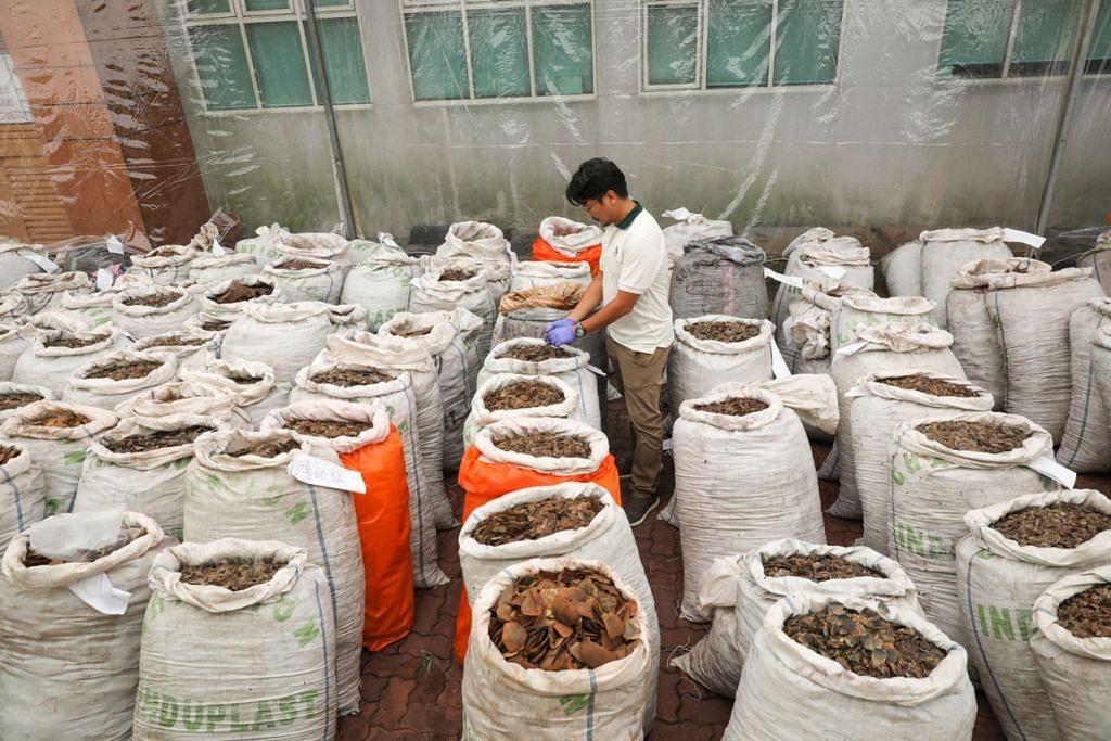 "DISEMBUNYI ANTARA DAGING BEKU: Sebanyak 12.9 tan sisik tenggiling bernilai $52.3 juta yang dibungkus dalam 230 beg dan dipercayai daripada 17,000 tenggiling disembunyikan antara paket daging beku, dan diisytiharkan sebagai mengandungi ""daging beku"" sebelum ia dikesan lalu dirampas dari sebuah kontena di Stesen Pemeriksaan Eksport Pasir Panjang. - Foto BH oleh ONG WEE JIN"