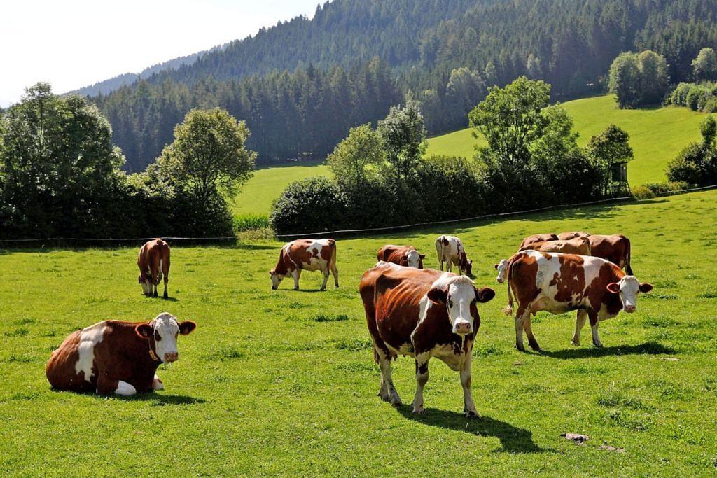 PENYEBAB UTAMA: Lembu bukan sahaja mengeluarkan jumlah tinggi gas metana yang menyebabkan pemanasan Bumi, malah jumlah besar hutan yang menyerap karbon ditebang setiap tahun untuk memberi ruang kepada haiwan itu. - Foto REUTERS