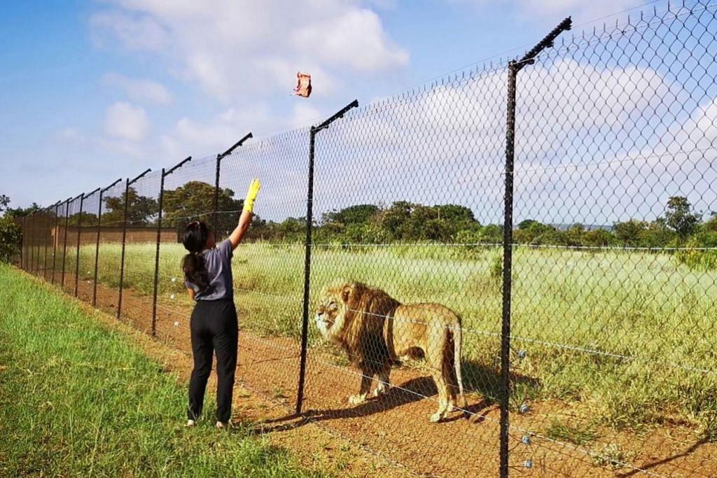 TIMBA PENGALAMAN: Cik Anisa Abdullah di kawasan perlindungan haiwan Kevin Richardson Wildlife Sanctuary di Afrika Selatan untuk singa dan haiwan liar lain yang telah diselamatkan daripada perangkap dan tidak dijaga dengan baik. Beliau menghabiskan masa sebulan di sana. - Foto ihsan ANISA ABDULLAH