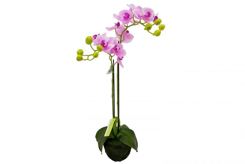 'POLLYANNA POTTED ORCHID'