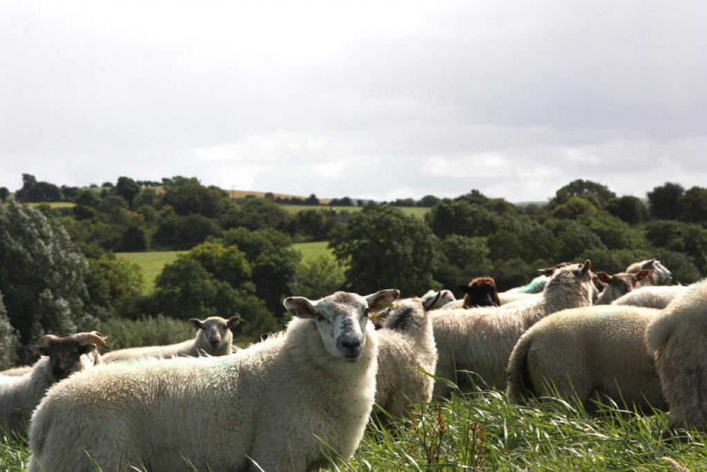 Kesemua 3,700 kambing korban habis ditempah tahun ini. FOTO: JKMS