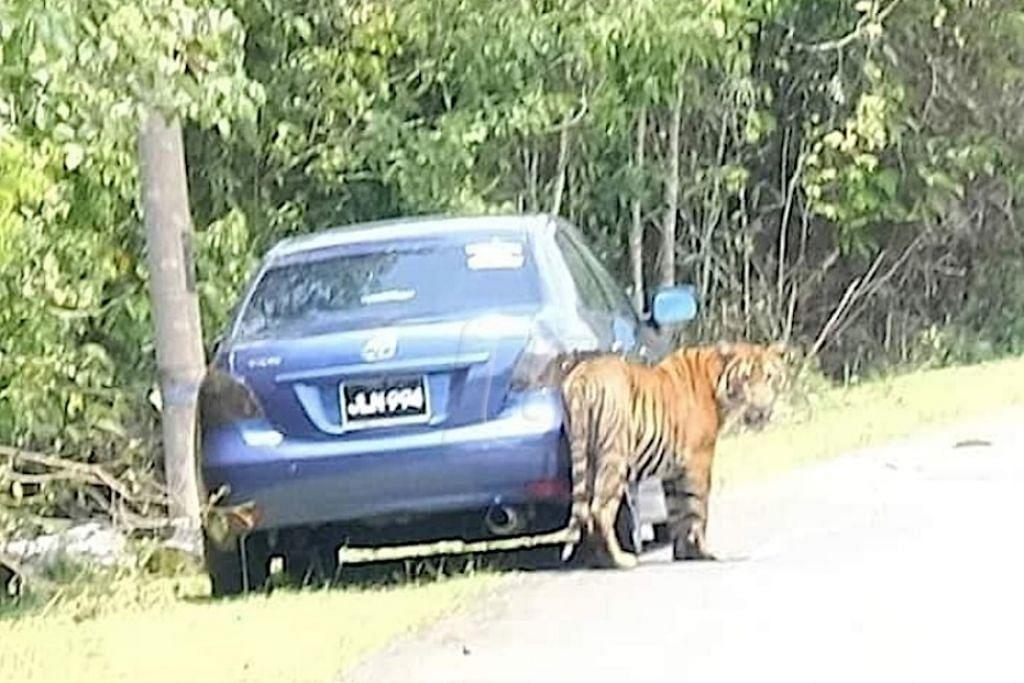 MERAYAU-RAYAU: Dua ekor harimau mengejutkan penduduk Kampung Besol Lama, Bukit Besi, Dungun, Terengganu apabila ia mula berkeliaran di sekitar kawasan kampung itu. -