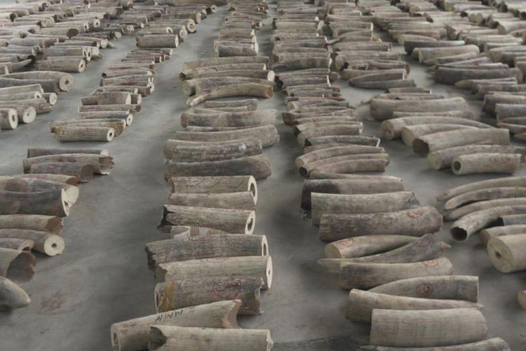 Gading gajah yang dirampas ini dipercayai berasal dari hampir 300 gajah Afrika. FOTO: NPARKS