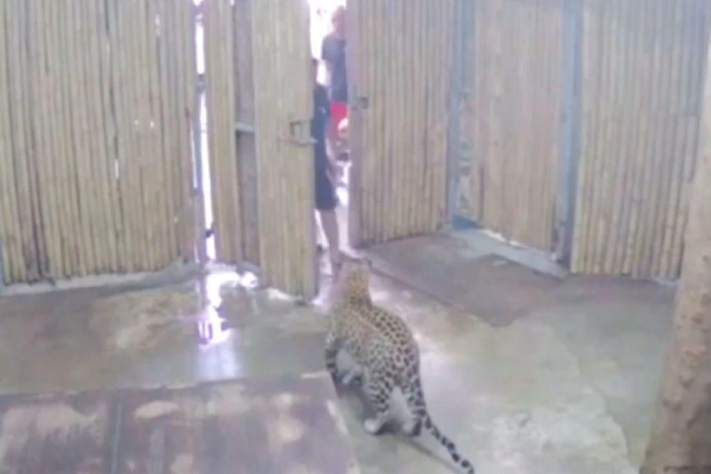 TULANG PIPI DISAHKAN PATAH: Harimau bintang itu tidak melepaskan anak lelaki itu sehingga seorang pengunjung lain menendang kepala harimau itu. -Foto: YOUTUBE/YNET