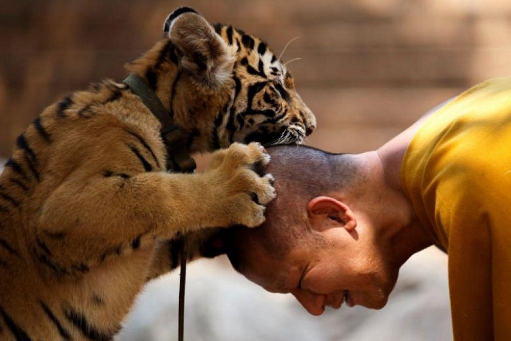 DAYA TARIKAN PELANCONG: Dalam foto yang dipetik pada 2015, Kuil Harimau atau Wat Pa Luang Ta Bua dalam Bahasa Siam, yang terletak di barat Bangkok, memberi pelancong peluang untuk berjinak-jinak dengan harimau peliharaan kuil Buddha itu, di mana mereka boleh bergambar dan menyusukan anak harimau. -Foto: REUTERS