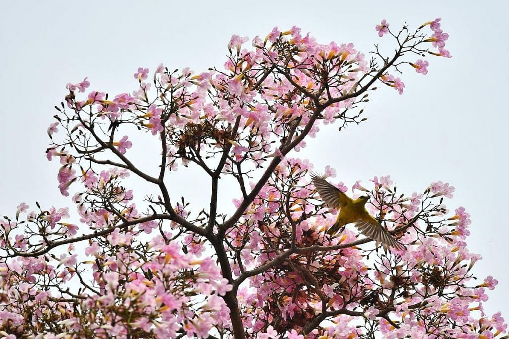 MEKAR BERBUNGGA: Pokok Trumpet, atau lebih dikenali sebagai Tabebuia rosea oleh ahli botani, mempunyai dua musim bunga, pada Mac dan September apabila cuaca panas dan kering, kemudian diikuti dengan hujan lebat. -Foto BH oleh Lim Yaohui.