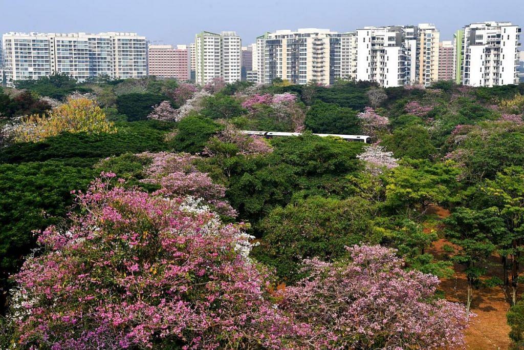 MERAH JAMBU: Terdapat lebih 15,000 pokok Trumpet di Singapura. Memandangkan sekarang musim berbungga, jika semua pokok tersebut mekar berbungga, Singapura akan diseliputi warna merah jambu yang indah lagi menawan. -Foto BH oleh Lim Yaohui.