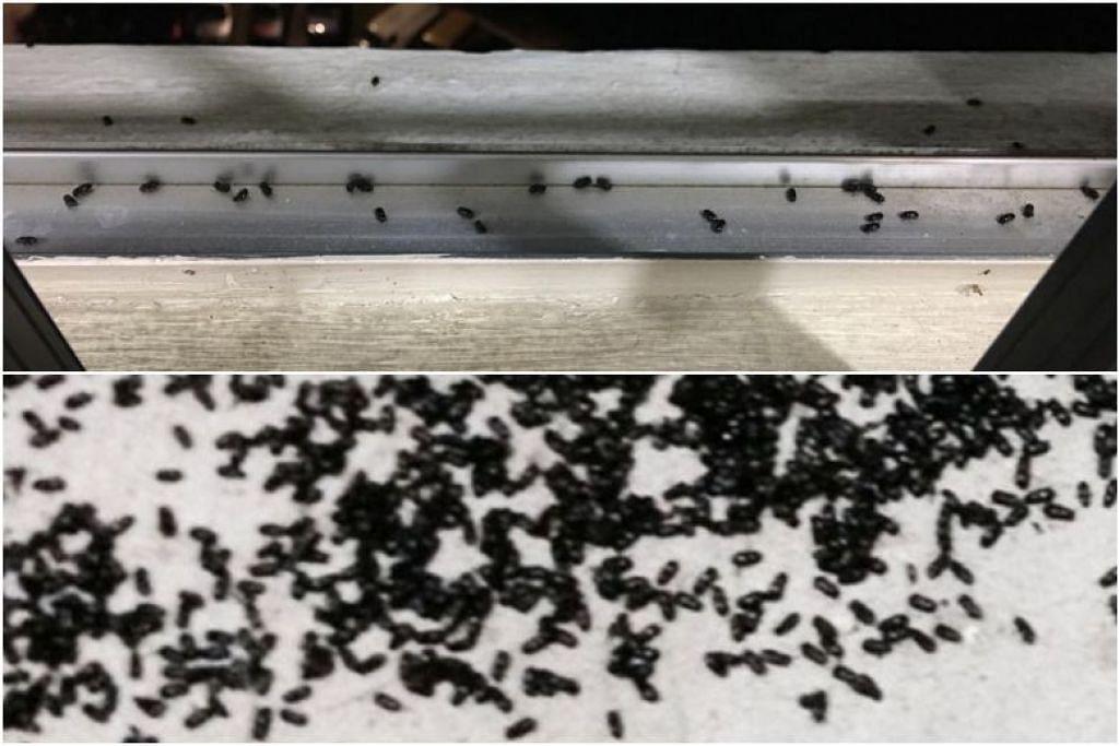 GANGGUAN SERANGGA: Serangga hitam yang menghinggap ke beberapa blok di Bukit Batok sejak beberapa hari yang lalu mengganggu penduduk di sana, menghinggap ke katil dan meja makan mereka, selain berpaut pada kulit, justeru mengakibatkan gatal-gatal. -Foto PEMBACA LIANHE WANBAO