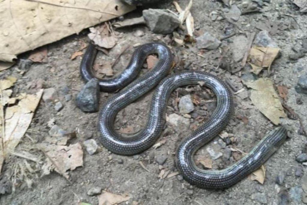 DITEMUI MATI: Beginilah rupa ular jenis Ramphotyphlops lineatus yang ditemui mati di Hutan Simpanan Bukit Timah, selepas 172 tahun tidak dijumpai di Singapura. -Foto ihsan JOHN VAN WYHE.