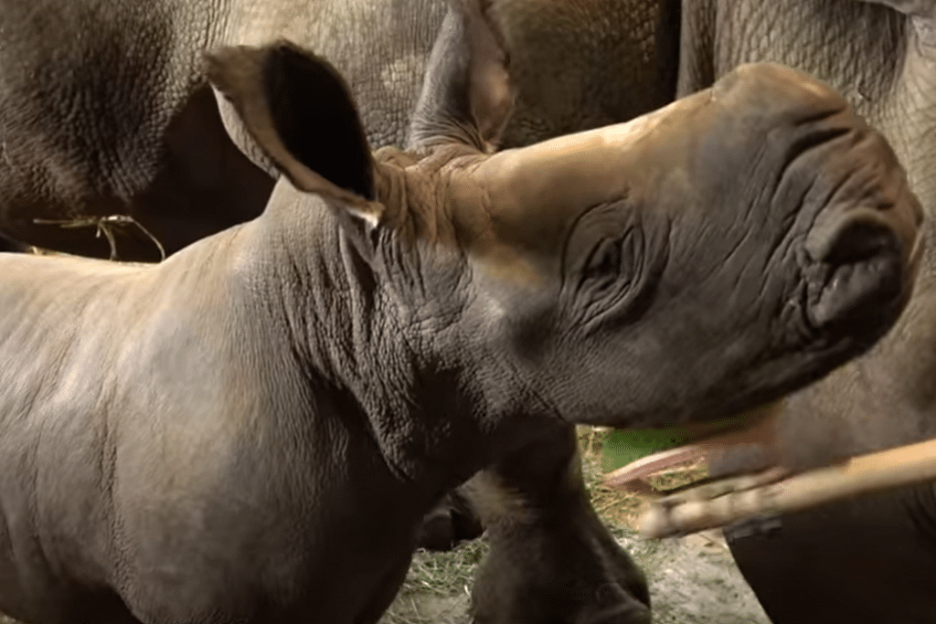 Singapore Zoo welcomes new baby white rhino