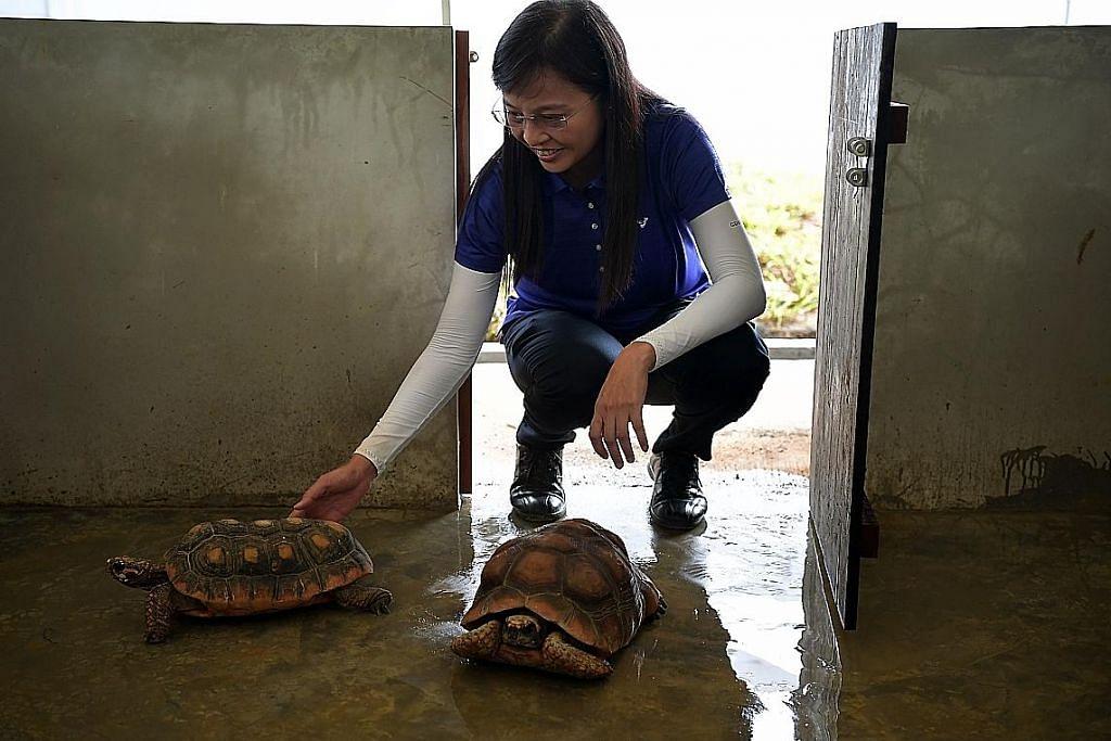 Lebih 500 kura-kura Taman Cina pindah ke Yishun