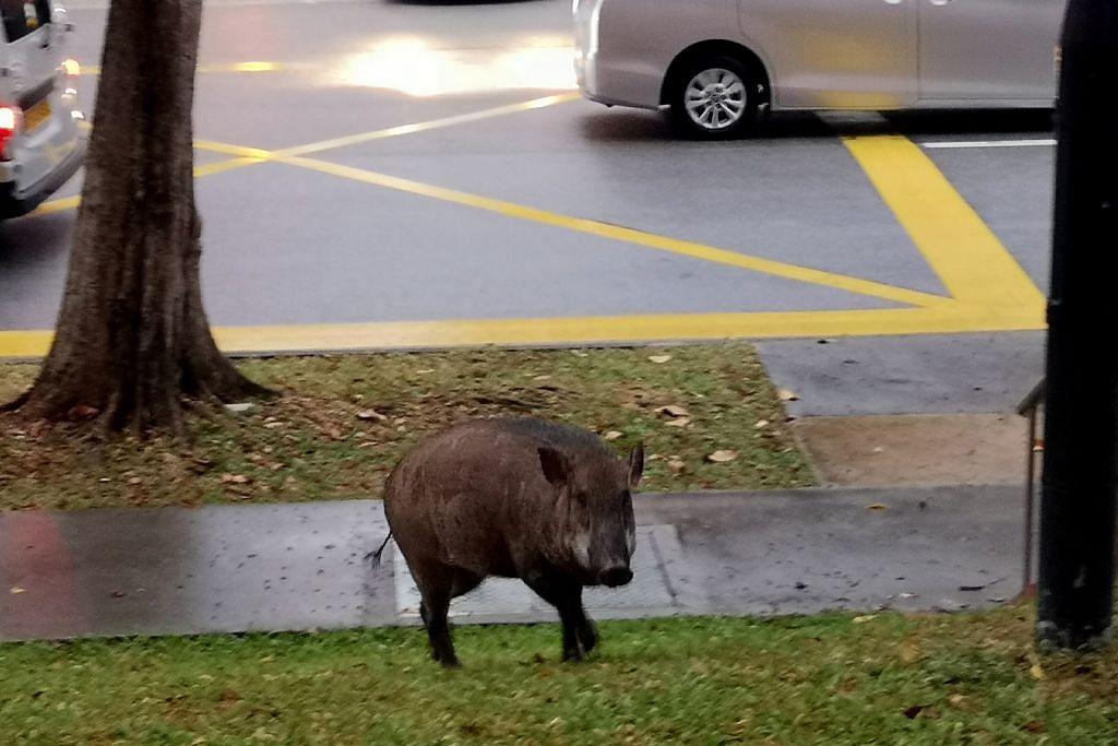 Babi hutan dilihat lagi di estet perumahan Choa Chu Kang