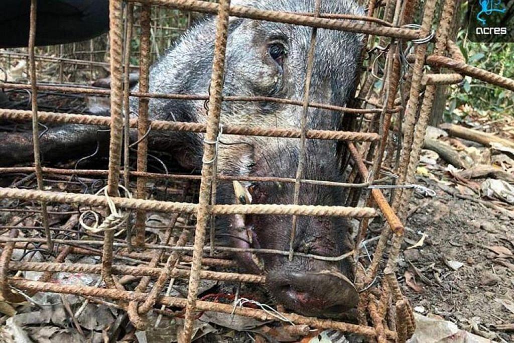 Babi hutan ditemui mati dalam perangkap haram di Lim Chu Kang