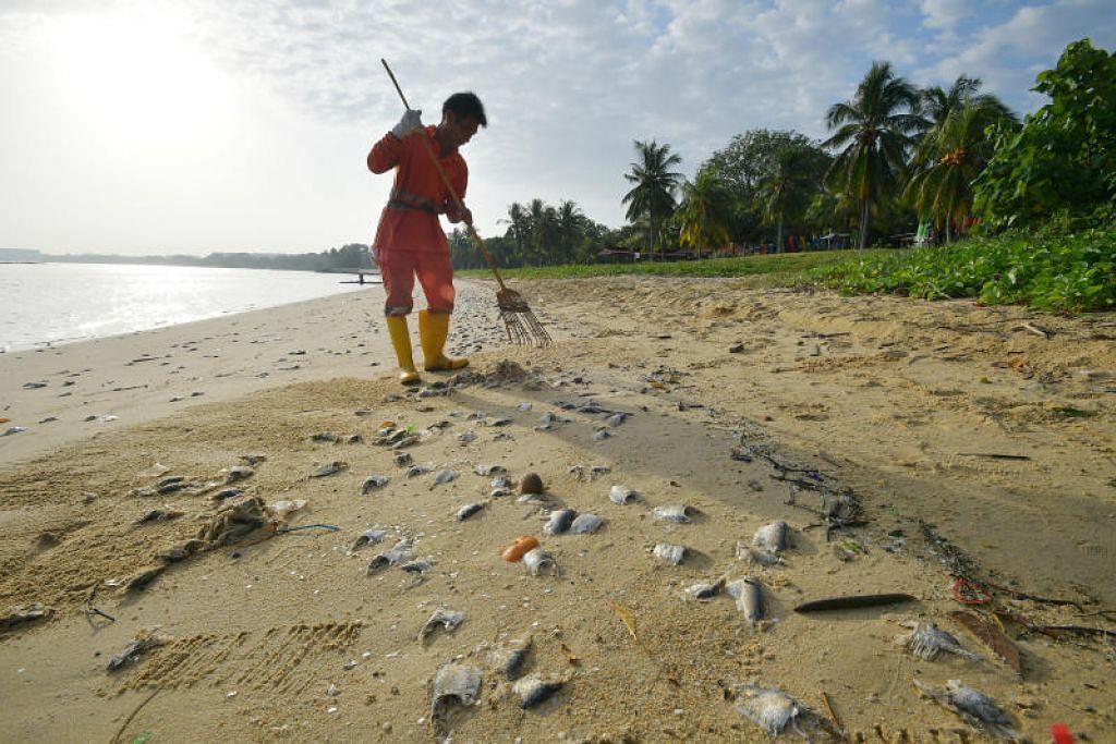 RATUSAN IKAN MATI: Seorang pekerja pembersihan membuang bangkai ikan yang ditemui di pantai di Pasir Ris Park dekat Ohana Beach House pada Isnin (3 Feb).