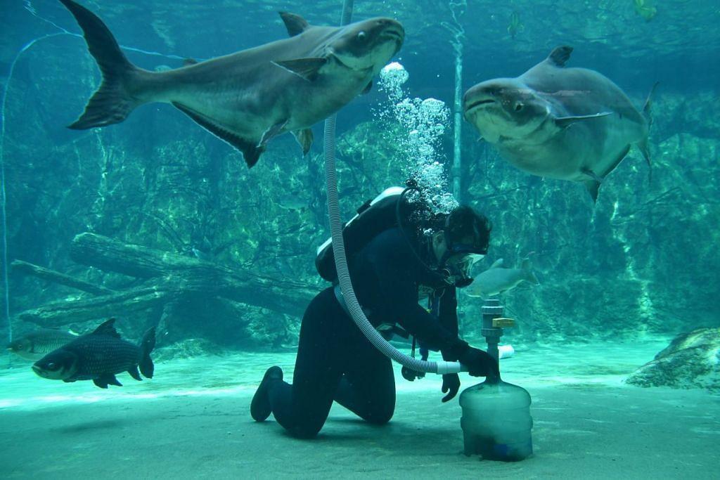 SERONOK BERTUGAS: Pengurus akuarium di River Safari, Encik Muhammad Saufi Suria berasa seronok menjalankan tugas dekat dengan haiwan laut, menjaga kebajikan mereka di samping mengendalikan operasi. - Foto-foto BH oleh CHONG JUN LIANG