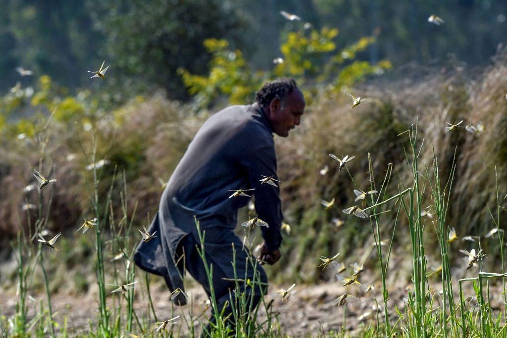 SERANGAN BELALANG JUTA: Seorang petani cuba menghalau belalang dari kebunnya di Pipli Pahar, Pakistan. Foto: AFP