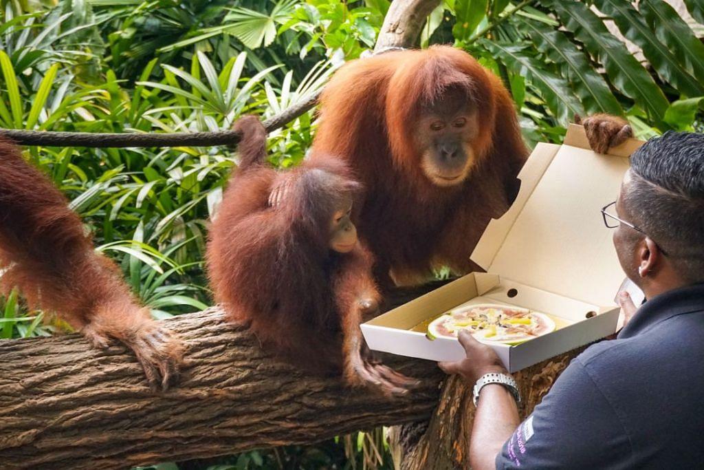 HADIAH UNTUK AH MENG: Ketua penjaga haiwan Kumaran Sesshe menghadiahkan 'kek piza' buah kepada Ah Meng. Haiwan lebih kecil bersamanya ialah orang utan paling muda di Taman Haiwan Singapura, Khansa, yang berusia tiga tahun.
