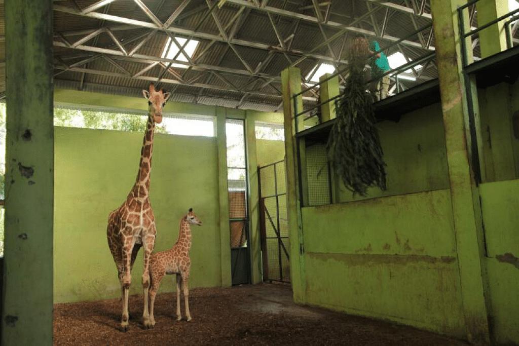Anak zirafah, Corona, bersama ibunya, Sophie, di Taman Safari Bali. - Foto AFP