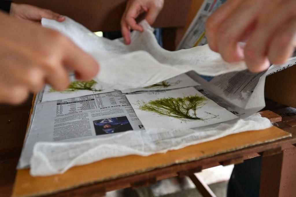ALGA DAN DAUN PAKU DI PULAU SEKIJANG BENDERA: ALGA: Kakitangan NParks telah menemui spesimen alga hijau yang dikumpul dari Pulau Sekijang Bendera pada Februari 2020. - Foto BH oleh LIM YAOHUI