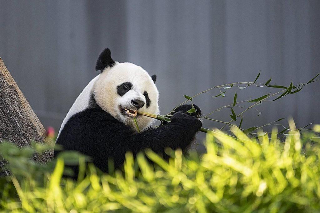 Panda dikeluar dari senarai haiwan terancam